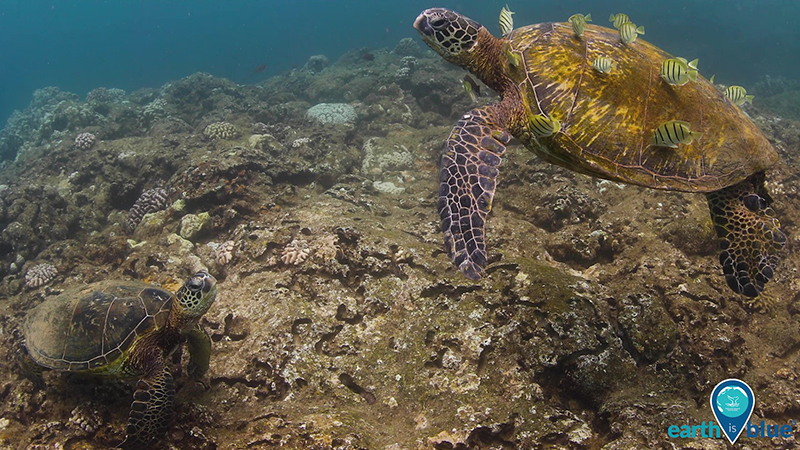 Two sea turtles, one with small fish cleaning its shell
