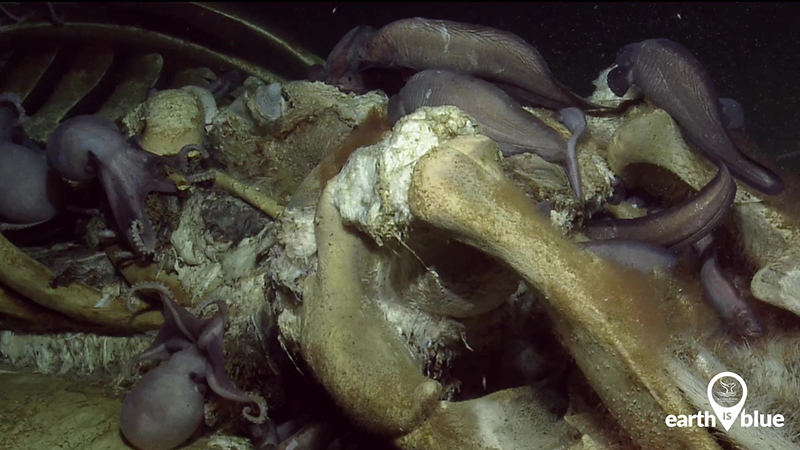 Octopuses and other sea creatures feed on a whale carcass