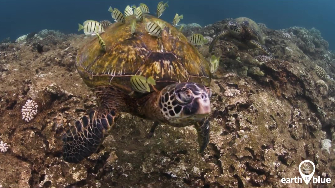 A green sea turtle surrounded by fish