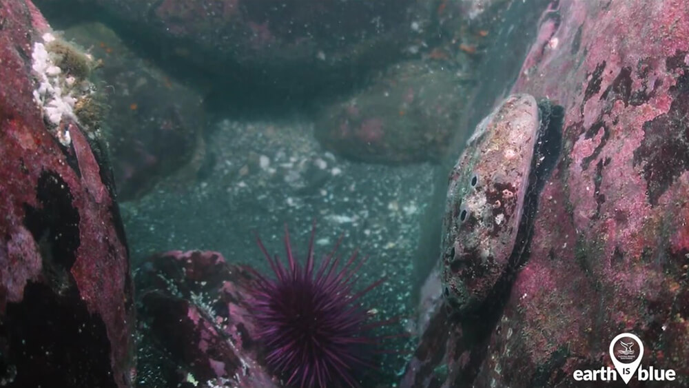An abalone and sea urchin between underwater rocks