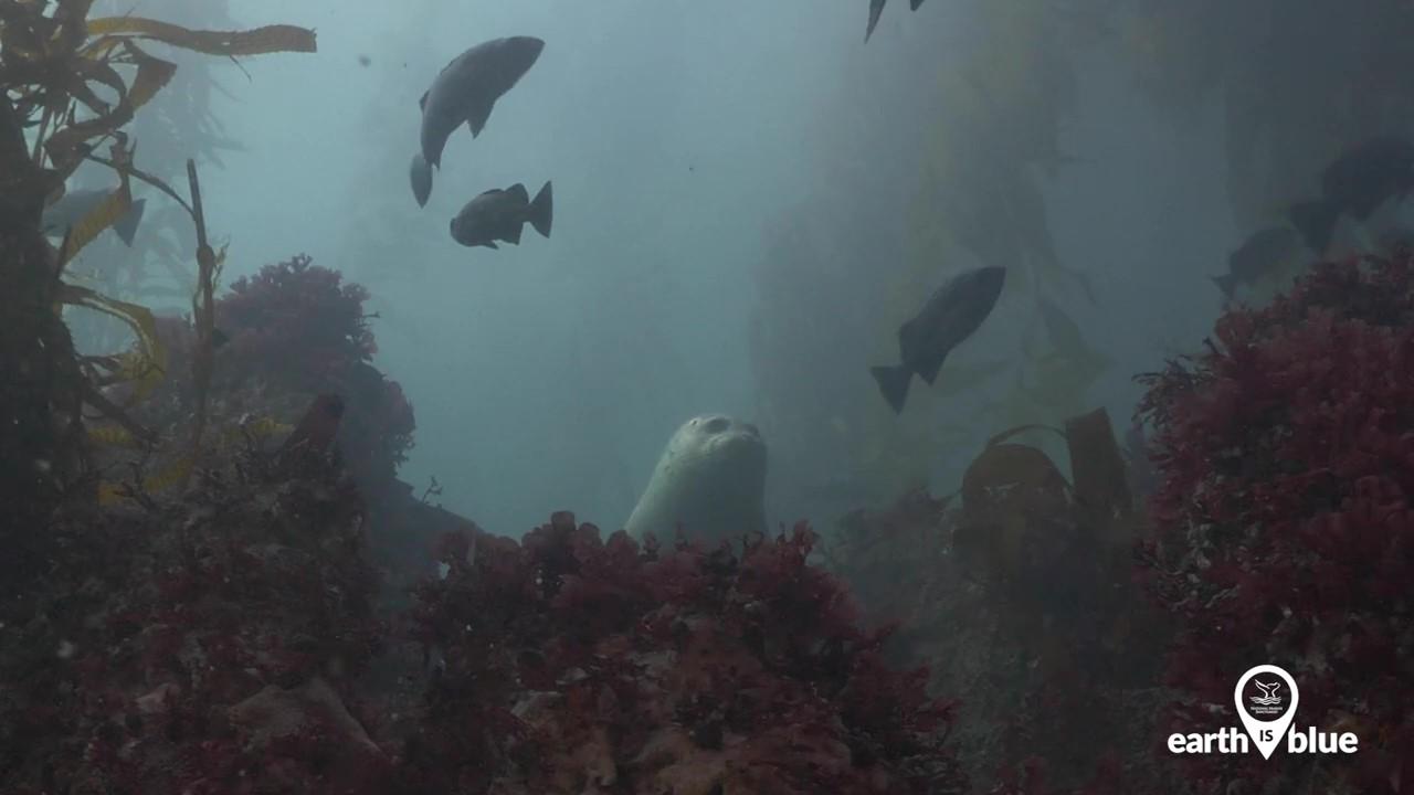 A seal underwater watching fish swim