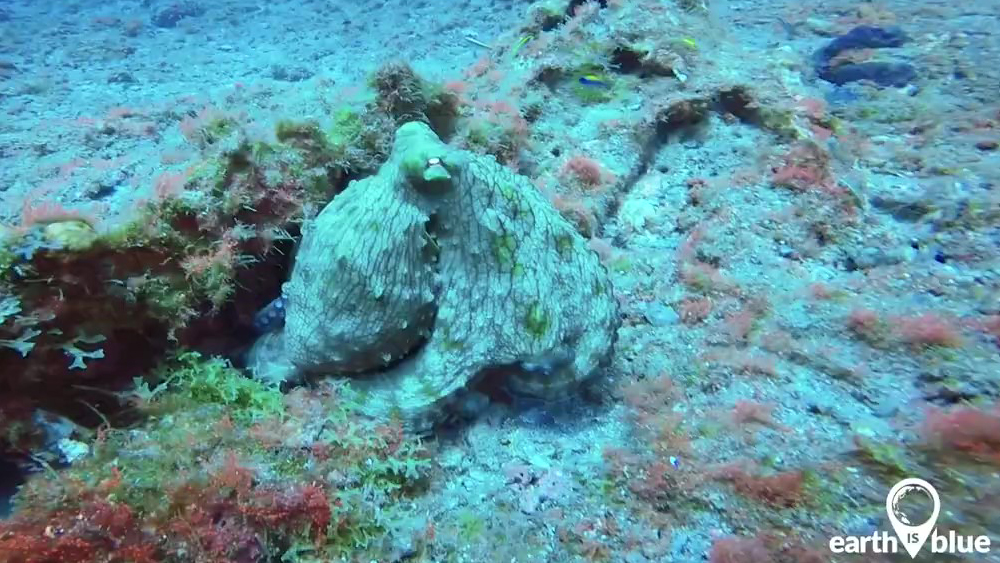 An octopus hides on the seafloor