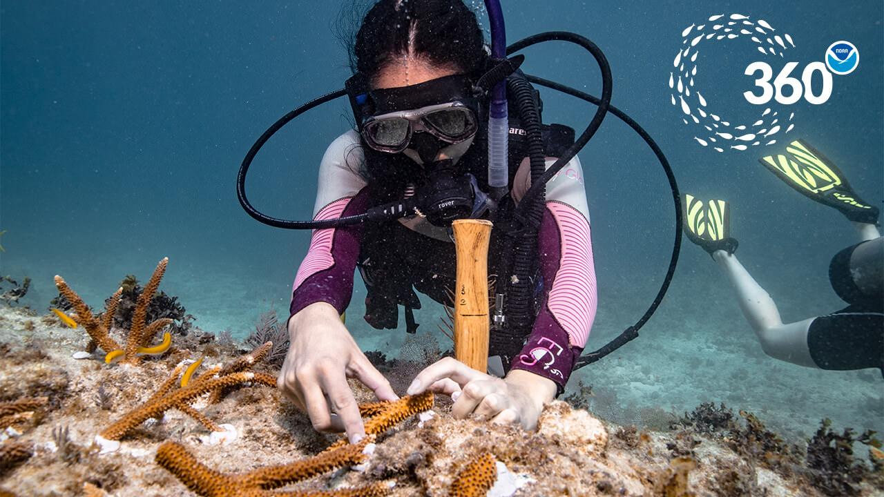 diver transplants corals