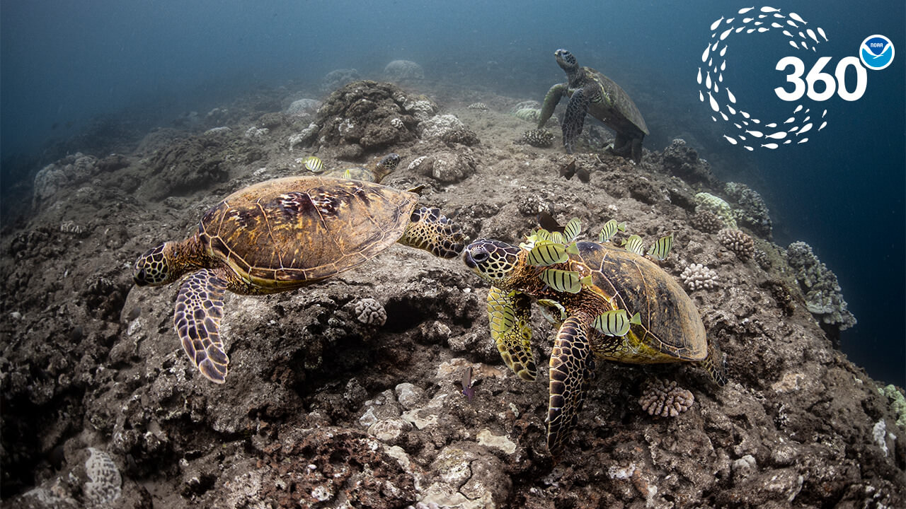 two sea turtles surrounded by fish