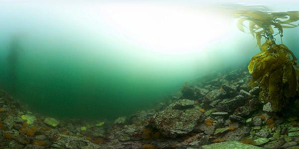 dozens of orange sea cucumbers dot a rocky reef