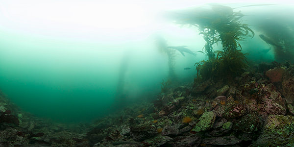 Sea lions swim through kelp