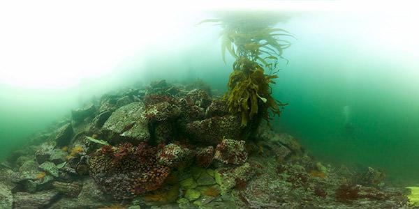 Lone kelp grows atop rocky rubble