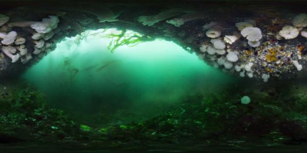 An overhang on Tatoosh Island covered with giant plumose anemones, Metridium farcimen